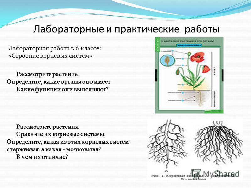 Лабораторные и практические работы Лабораторная работа в 6 классе: «Строение корневых систем». Рассмотрите растение. Определите, какие органы оно имеет Какие функции они выполняют? Рассмотрите растения. Сравните их корневые системы. Определите, какая
