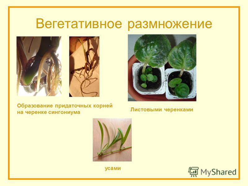 Вегетативное размножение усами Листовыми черенками Образование придаточных корней на черенке сингониума
