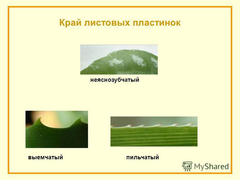 Край листовых пластинок пильчатыйвыемчатый не ясно зубчатый