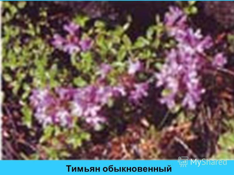 Тимьян обыкновенный