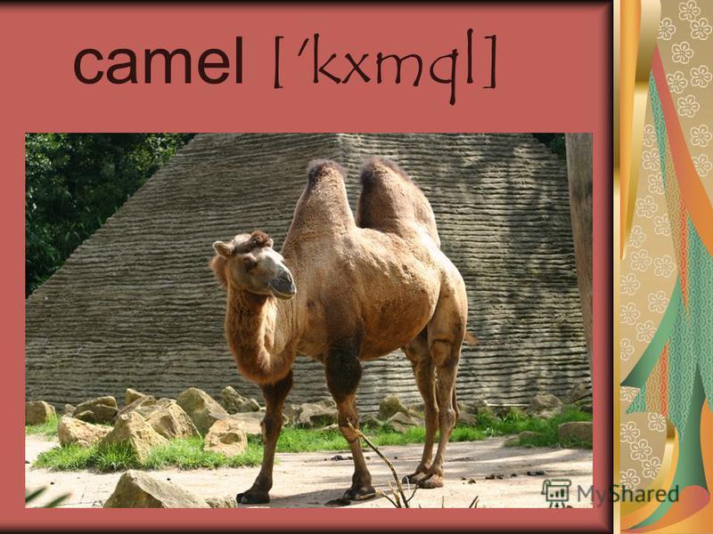 camel ['kxmql]