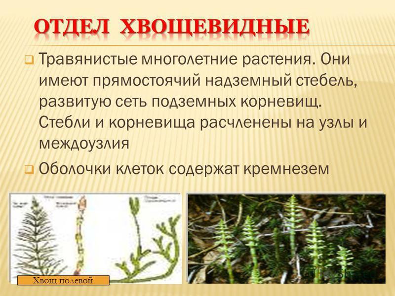 Травянистые многолетние растения. Они имеют прямостоячий надземный стебель, развитую сеть подземных корневищ. Стебли и корневища расчленены на узлы и междоузлия Оболочки клеток содержат кремнезем Хвощ полевой