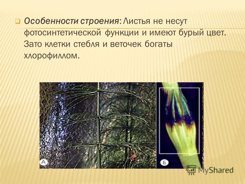 Особенности строения: Листья не несут фотосинтетической функции и имеют бурый цвет. Зато клетки стебля и веточек богаты хлорофиллом.