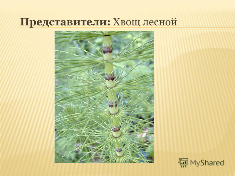 Представители: Хвощ лесной