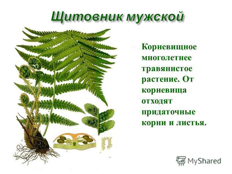 Корневищное многолетнее травянистое растение. От корневища отходят придаточные корни и листья.