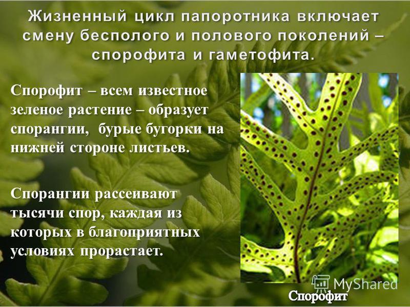 Спорофит – всем известное зеленое растение – образует спорангии, бурые бугорки на нижней стороне листьев. Спорангии рассеивают тысячи спор, каждая из которых в благоприятных условиях прорастает. Спорофит – всем известное зеленое растение – образует с