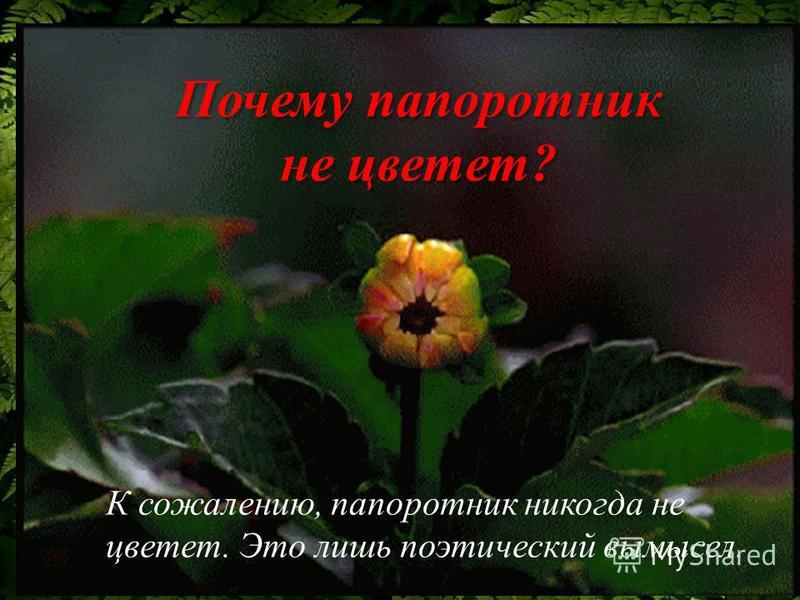 К сожалению, папоротник никогда не цветет. Это лишь поэтический вымысел. Почему папоротник не цветет ?