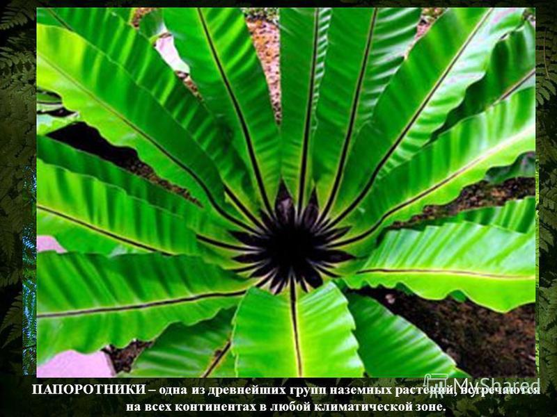 ПАПОРОТНИКИ – одна из древнейших групп наземных растений, встречаются на всех континентах в любой климатической зоне.