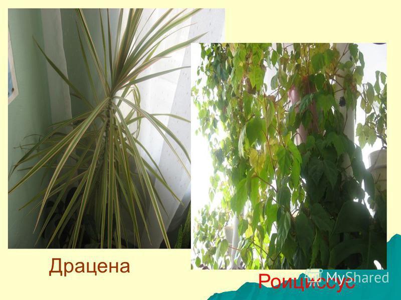 Растения, не требовательные к t° Разместить фото Разместить фото Зигокактус Фикус
