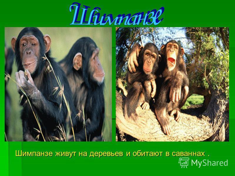 Шимпанзе живут на деревьев и обитают в саваннах. Шимпанзе живут на деревьев и обитают в саваннах.