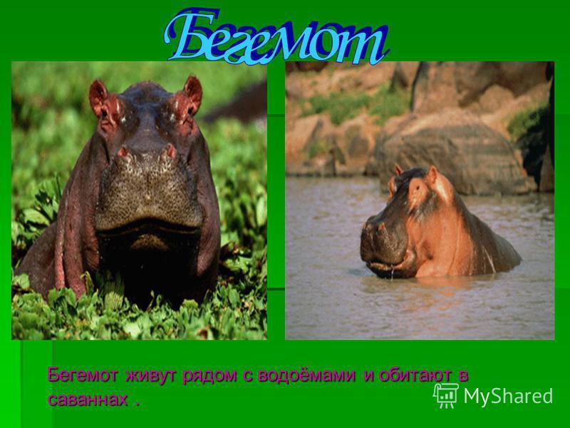 Бегемот живут рядом с водоёмами и обитают в саваннах. Бегемот живут рядом с водоёмами и обитают в саваннах.
