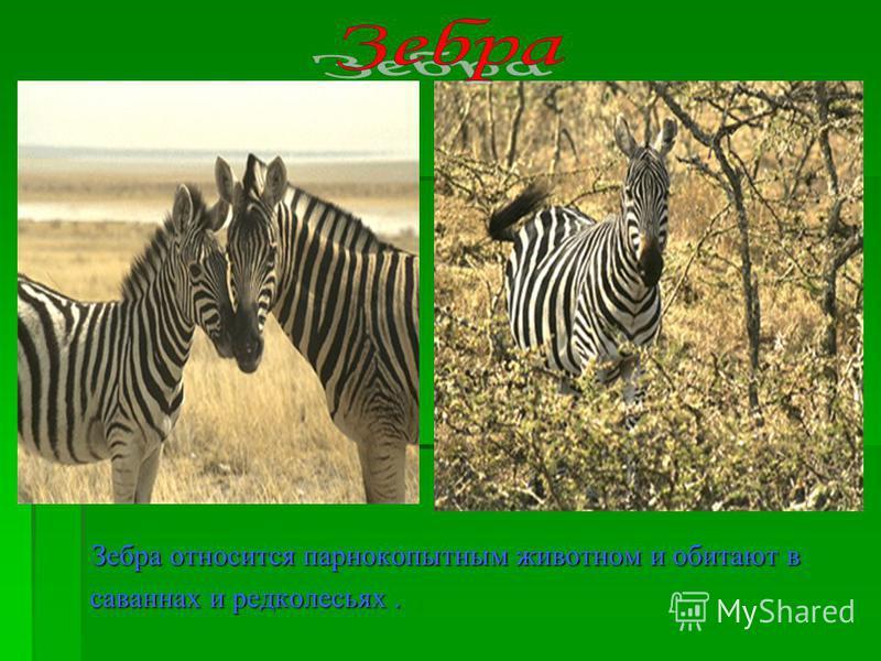 Зебра относится парнокопытным животном и обитают в Зебра относится парнокопытным животном и обитают в саваннах и редколесьях. саваннах и редколесьях.