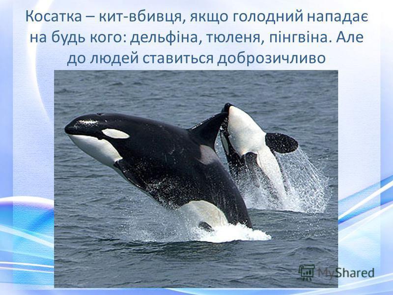 Косатка – кит-вбивця, якщо голодний нападає на будь кого: дельфіна, тюленя, пінгвіна. Але до людей ставиться доброзичливо