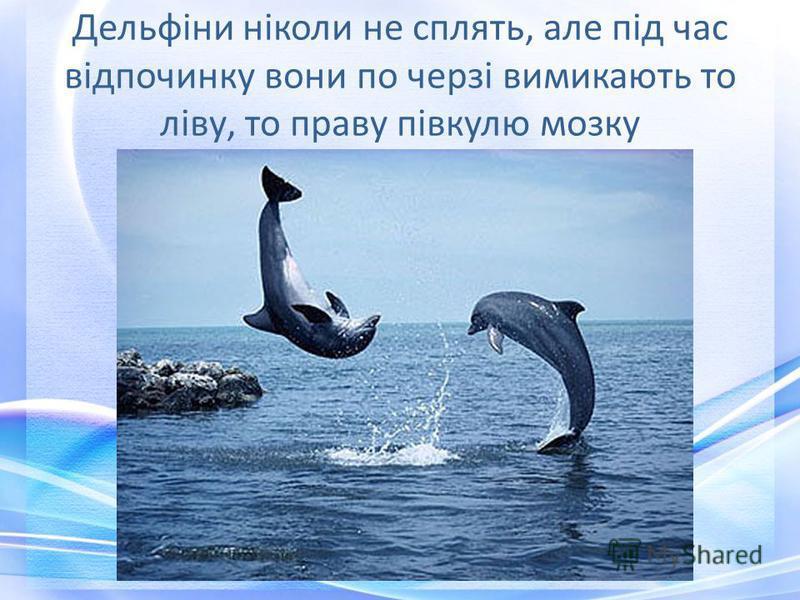 Дельфіни ніколи не сплять, але під час відпочинку вони по черзі вимикають то ліву, то праву півкулю мозку