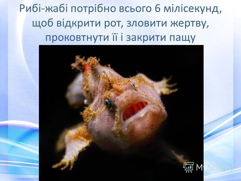 Рибі-жабі потрібно всього 6 мілісекунд, щоб відкрити рот, зловити жертву, проковтнути її і закрити пащу
