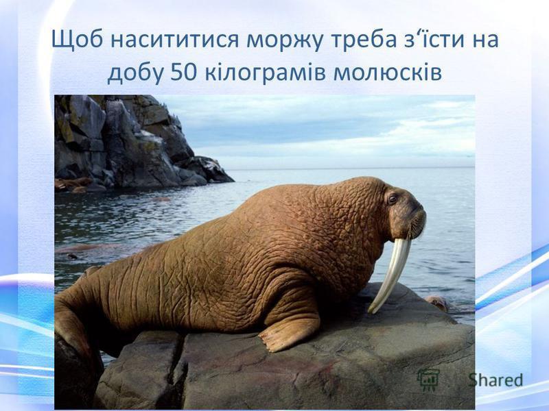 Щоб насититися моржу треба зїсти на добу 50 кілограмів молюсків