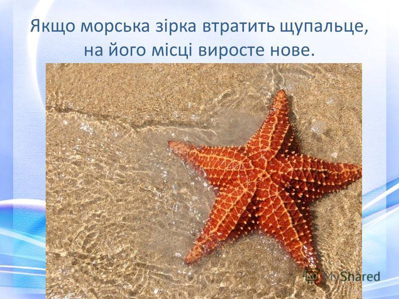 Якщо морська зірка втратить щупальце, на його місці виросте нове.