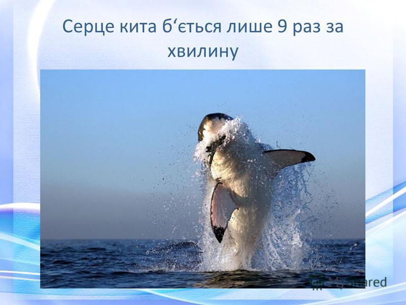 Серце кита бється лише 9 раз за хвилину