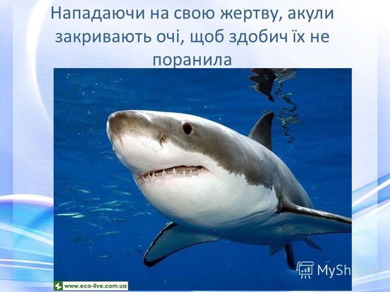 Нападаючи на свою жертву, акули закривають очі, щоб здобич їх не поранила