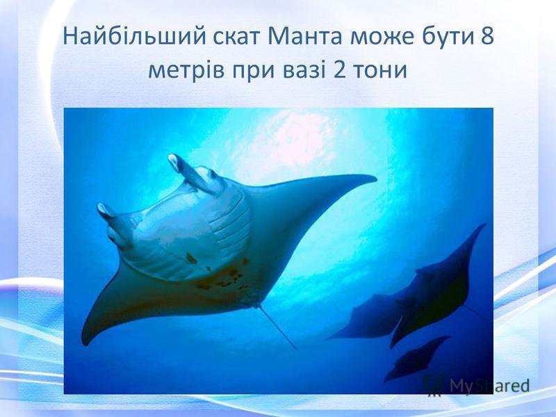 Найбільший скат Манта може бути 8 метрів при вазі 2 тони