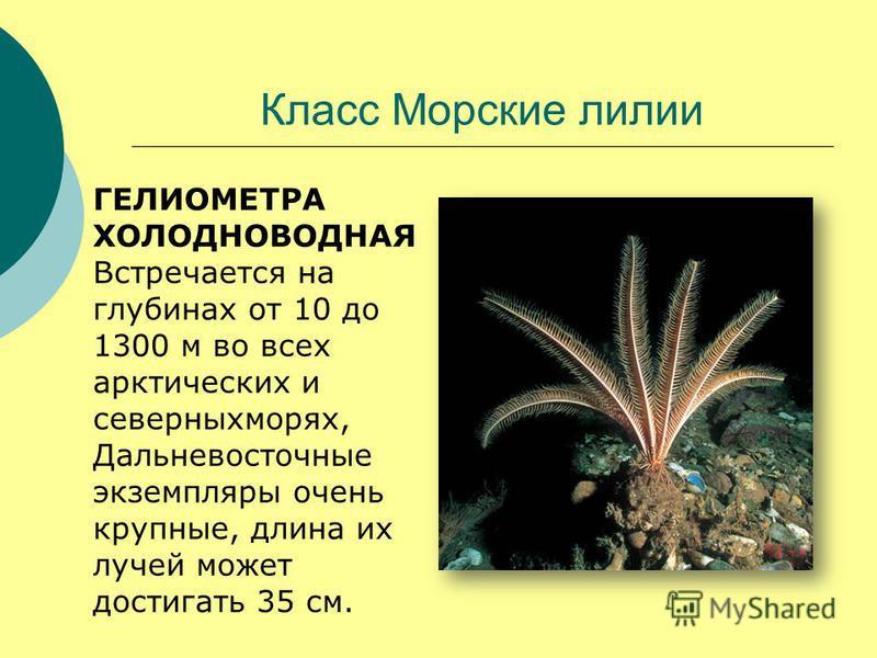 Класс Морские лилии ГЕЛИОМЕТРА ХОЛОДНОВОДНАЯ Встречается на глубинах от 10 до 1300 м во всех арктических и северных морях, Дальневосточные экземпляры очень крупные, длина их лучей может достигать 35 см.