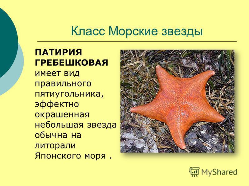 Класс Морские звезды ПАТИРИЯ ГРЕБЕШКОВАЯ имеет вид правильного пятиугольника, эффектно окрашенная небольшая звезда обычна на литорали Японского моря.