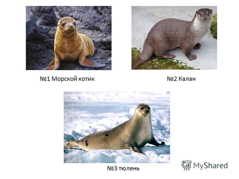 1 Морской котик 2 Калан 3 тюлень
