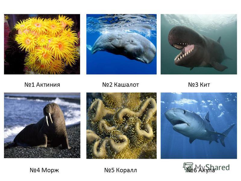 1 Актиния 2 Кашалот 3 Кит 4 Морж 5 Коралл 6 Акула