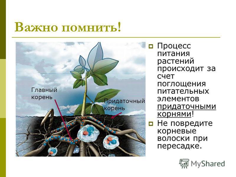 Важно помнить! Процесс питания растений происходит за счет поглощения питательных элементов придаточными корнями! Не повредите корневые волоски при пересадке. Главный корень Придаточный корень