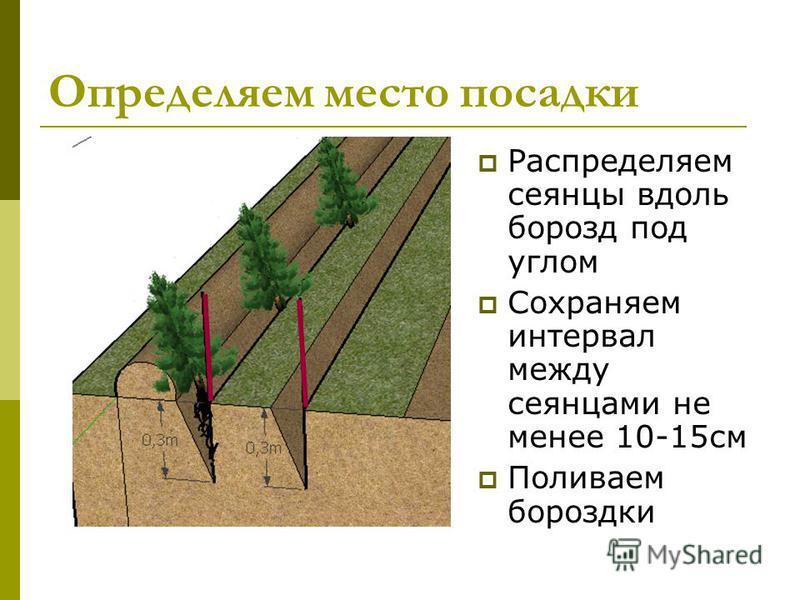 Определяем место посадки Распределяем сеянцы вдоль борозд под углом Сохраняем интервал между сеянцами не менее 10-15 см Поливаем бороздки