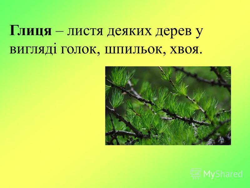 Глиця – листя деяких дерев у вигляді голок, шпильок, хвоя.