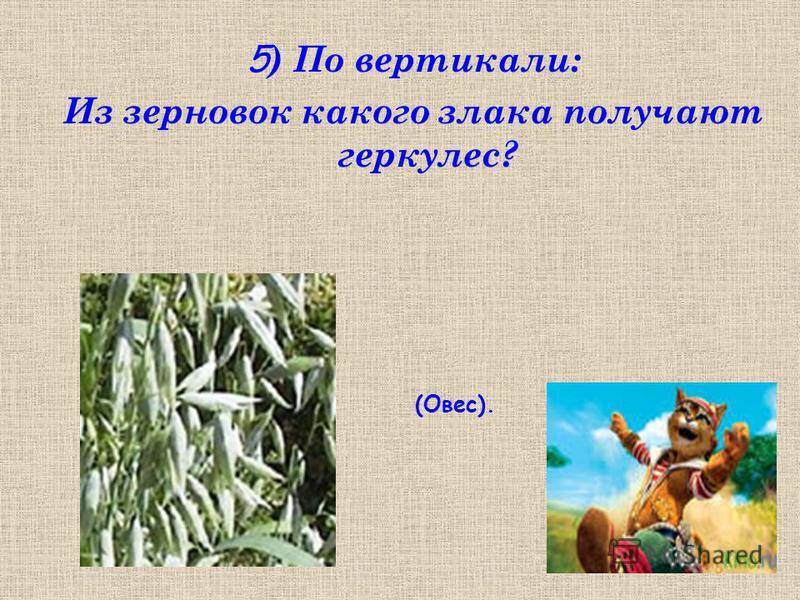 5 ) По вертикали: Из зерновок какого злака получают геркулес? (Овес).