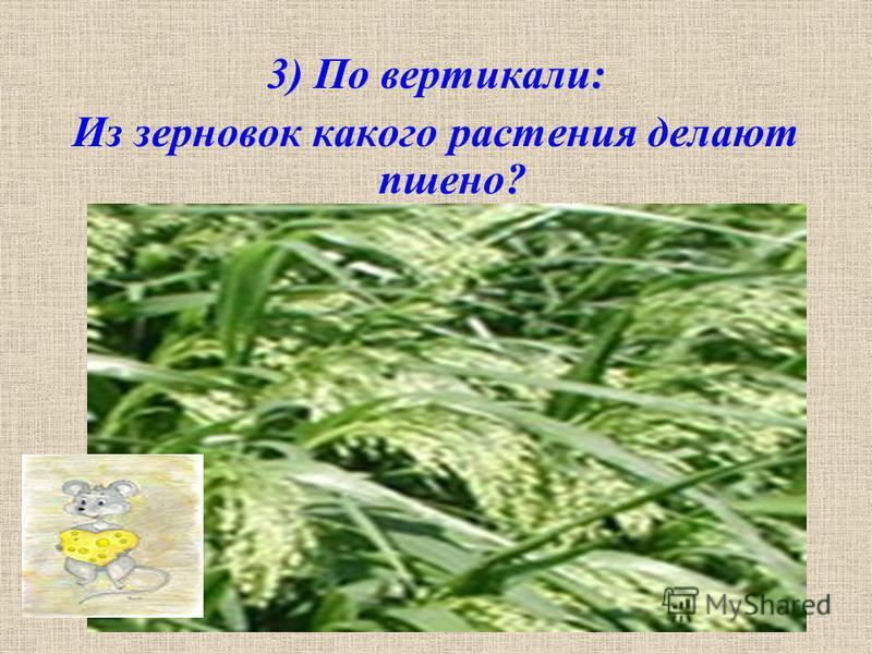 3) По вертикали: Из зерновок какого растения делают пшено?