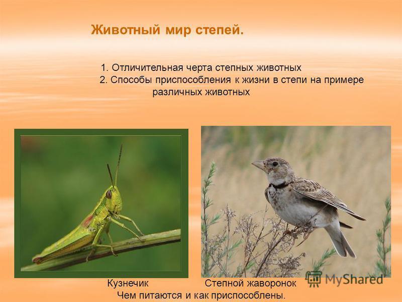 Животный мир степей. 1. Отличительная черта степных животных 2. Способы приспособления к жизни в степи на примере различных животных Кузнечик Степной жаворонок Чем питаются и как приспособлены.