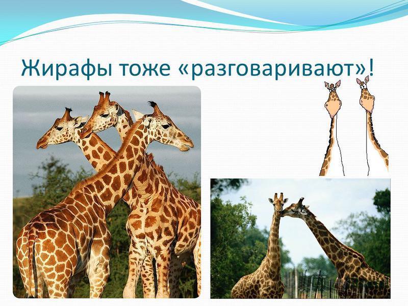 Жирафы тоже «разговаривают»!