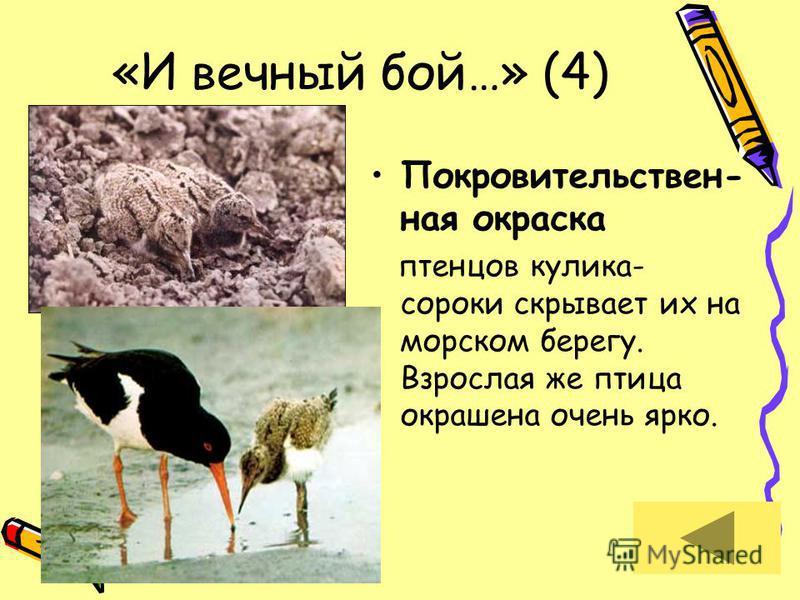 «И вечный бой…» (4) Покровительствен- ная окраска птенцов кулика- сороки скрывает их на морском берегу. Взрослая же птица окрашена очень ярко.