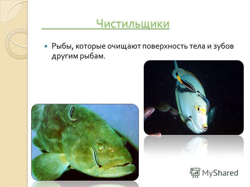 Чистильщики Чистильщики Рыбы, которые очищают поверхность тела и зубов другим рыбам.