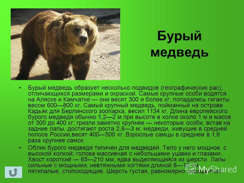 Бурый медведь Бурый медведь образует несколько подвидов (географических рас), отличающихся размерами и окраской. Самые крупные особи водятся на Аляске и Камчатке они весят 300 и более кг; попадались гиганты весом 600800 кг. Самый крупный медведь, пой