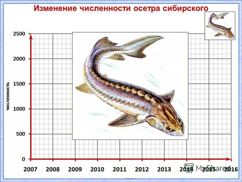 Изменение численности осетра сибирского