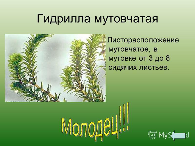 Гидрилла мутовчатая Листорасположение мутовчатое, в мутовке от 3 до 8 сидячих листьев.