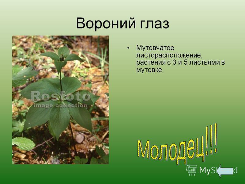 Вороний глаз Мутовчатое листорасположение, растения с 3 и 5 листьями в мутовке.
