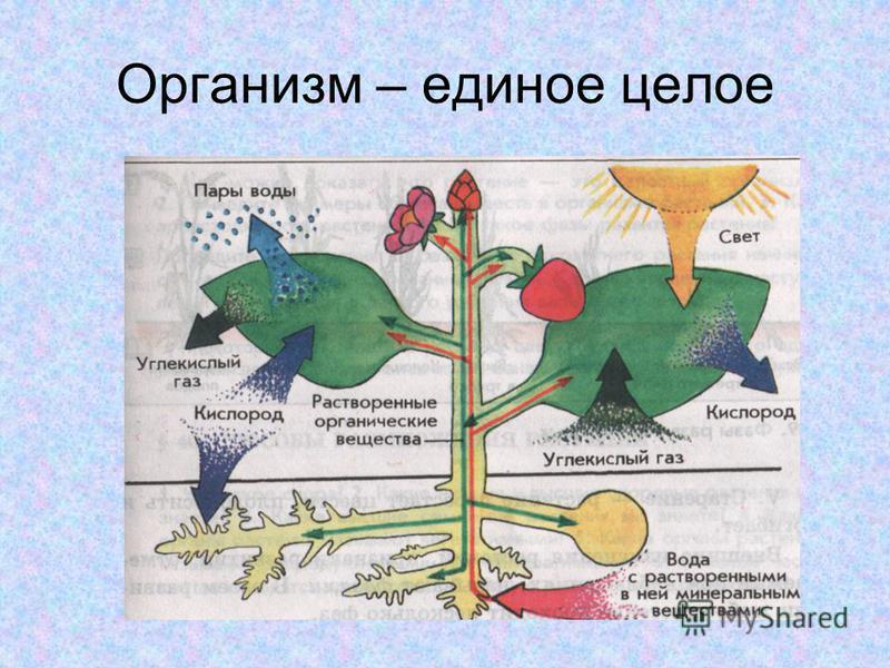 Организм – единое целое