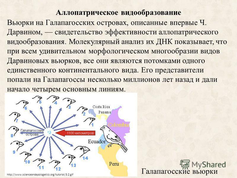 Аллопатрическое видообразование Вьюрки на Галапагосских островах, описанные впервые Ч. Дарвином, свидетельство эффективности аллопатрического видообразования. Молекулярный анализ их ДНК показывает, что при всем удивительном морфологическом многообраз
