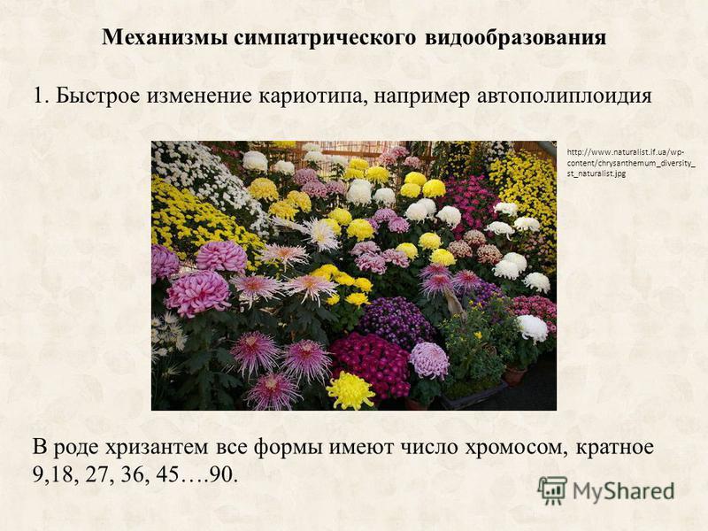 Механизмы симпатрического видообразования 1. Быстрое изменение кариотипа, например автополиплоидия http://www.naturalist.if.ua/wp- content/chrysanthemum_diversity_ st_naturalist.jpg В роде хризантем все формы имеют число хромосом, кратное 9,18, 27, 3