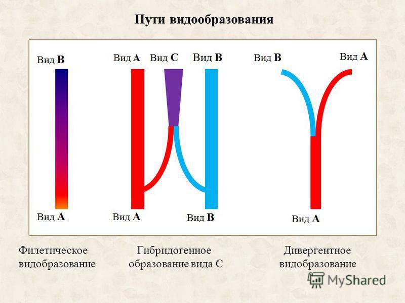 Пути видообразования Филетическое Гибридогенное Дивергентное видообразование образование вида С видообразование