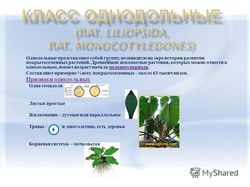 Однодольные представляют собой группу, возникшую на заре истории развития покрытосеменных растений. Древнейшие ископаемые растения, которых можно отнести к однодольным, имеют возраст начала мелового периода. мелового периода Составляют примерно ¼ все