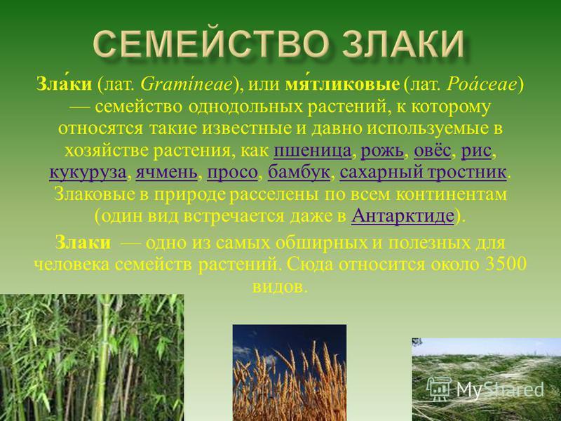 Злаки ( лат. Gramíneae ), или мятликовые ( лат. Poáceae ) семейство однодольных растений, к которому относятся такие известные и давно используемые в хозяйстве растения, как пшеница, рожь, овёс, рис, кукуруза, ячмень, просо, бамбук, сахарный тростник