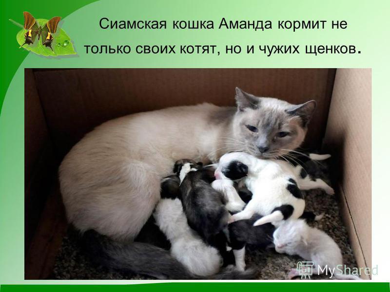 Сиамская кошка Аманда кормит не только своих котят, но и чужих щенков.