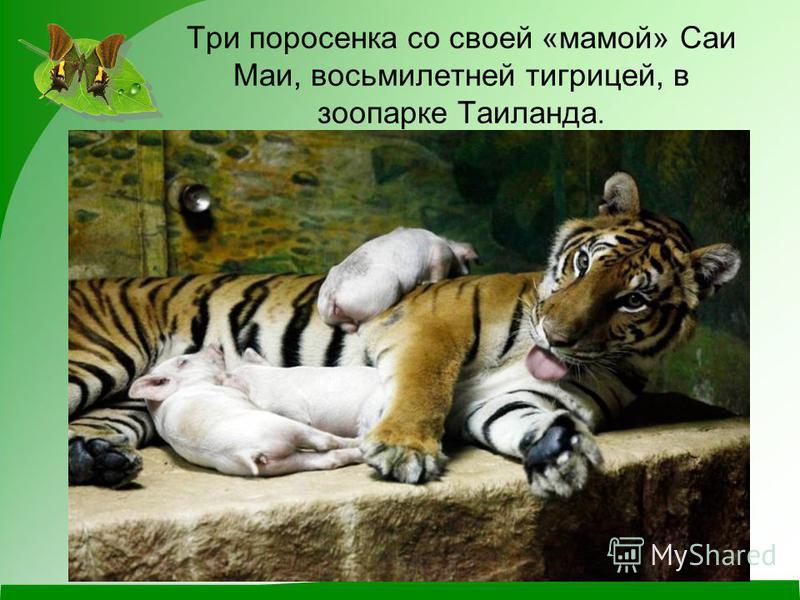 Три поросенка со своей «мамой» Саи Маи, восьмилетней тигрицей, в зоопарке Таиланда.
