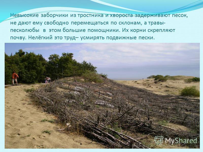 Невысокие заборчики из тростника и хвороста задерживают песок, не дают ему свободно перемещаться по склонам, а травы- песколюбы в этом большие помощники. Их корни скрепляют почву. Нелёгкий это труд– усмирять подвижные пески.
